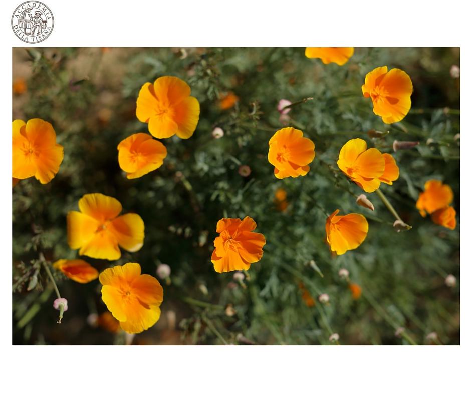 immagine di escolzia fiorita